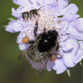 Hummel mit Biene