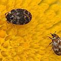 Bibernellen Blütenkäfer Anthrenus pimpinellae