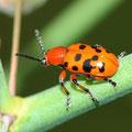Zwölfpunkt-Spargelkäfer Crioceris duodecimpunctata 2