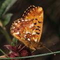 Hochmoor-Perlmutterfalter Boloria aquilonaris