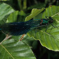 Blauflügel-Prachtlibelle m. Calopteryx virgo