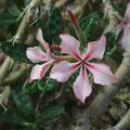 Hundsgiftgewächs Pachypodium succulentum