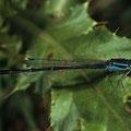 Große Pechlibelle Ischnura elegans
