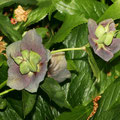 Nieswurz - Lenzrose - Helleborus Orientalis