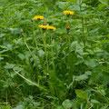 Löwenzahn-Gemüse-Salatpflanze