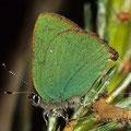Zipfelfalter-Brombeer-Callophrys rubi