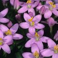 Tausendgüldenkraut-Heilpflanze