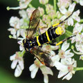 Gelbschwarze Blattwespe Tenthredo vespa