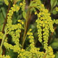 Goldtröpfchen Chiastophyllum oppositifolium
