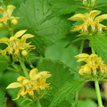 Goldnessel-Gemüsepflanze