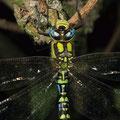 Blaugrüne Mosaikjungfer Aeshna cyanea