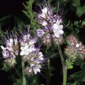 Büschelschön-Bienenweide