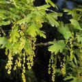 Eiche-Stiel-Blüte