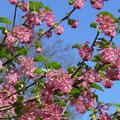 Johannisbeere-Zier-Ribes sanguineum