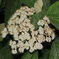 Runzelblättriger Schneeball Viburnum rhytidophyllum