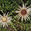 Silberdistel-Heilpflanze