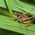 Roesels Beißschrecke Metrioptera roeseli