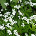 Waldmeister-Gewürzpflanze