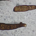Corynespora olivacea-Konidiosporen