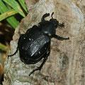 Blatthornkäfer Gnorimus variabilis