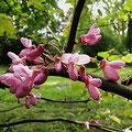 Judasbaum-Blüte