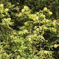 Holunder-Trauben-roter-Sambucus racemosa