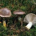 Gomphidius glutinosus Kuhmaul