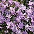 Polster-Flammenblume Phlox subulata