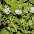 Quendelblättriger Ehrenpreis Veronica serpyllifolia