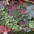 Flechten: Xanthonia parietina dazw.Phaeophyscia orbicularis