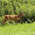 Rehbock-Junger im Schloßwald