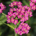 Schafgabe-Heilpflanze