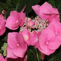 Zwerg-Hortensie Hydrangea serrata