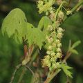 Bergahorn-Acer pseudoplatanus