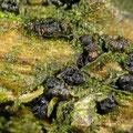 Camarosporium pini Anamorphe