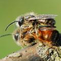 Mauerbiene Osmia bicornis