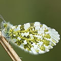 Aurorafalter Anthocharis cardamines