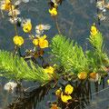 Brasilianisches Tausendblatt (Myriophyllum aquaticum) und Verkannter Wasserschlauch  (Urticularia australis)