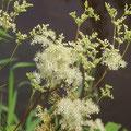 Mädesüß Filipendula vulgaris