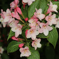Liebliche Weigelie Weigela florida