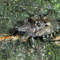 Graue Feldwanze Rhaphigaster nebulosa