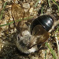 Sandbiene Andrena flavipes