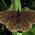 Schornsteinfeger Aphantopus hyperantus