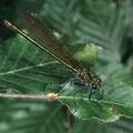 Blauflügel-Prachtlibelle w. Calopteryx virgo