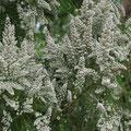 Baumheide Erica arborea