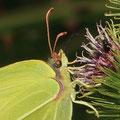 Zitronenfalter Gonepteryx rhamni