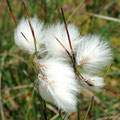 Gräser: Wollgras