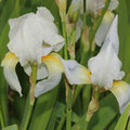 Iris germanica  Florentina