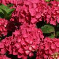 Garten-Hortensie Hydrangea macrophylla