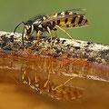 Gemeine Wespe Vespula vulgaris